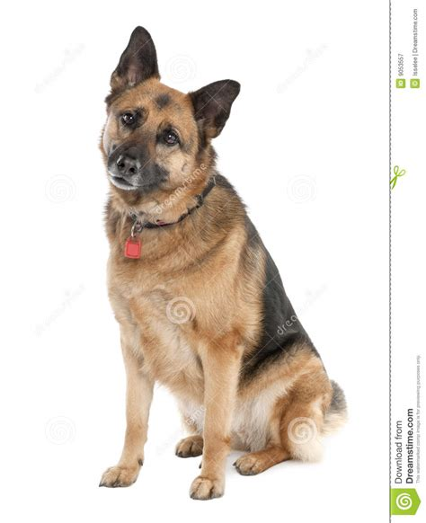 how to an alsatian german shepherd 5 years alsatian d stock image image 9053557