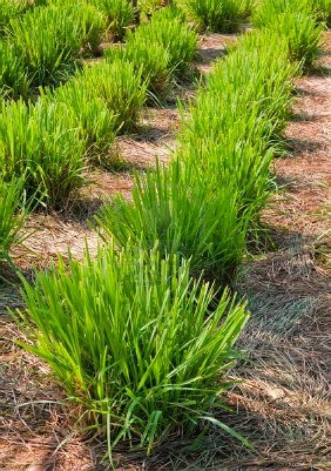Bite Fighters Botanical Mosquito 12pc lemon grass the green cure for cancer and the pesky mosquito bite cebuano herbsman