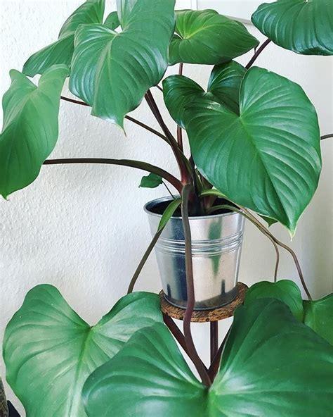 homalomena rubescens plants green plants house plants