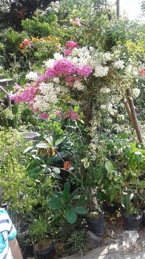 foto bunga bougenville  bunga kertas lima warna
