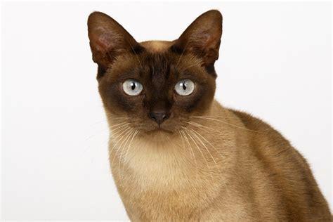 gato pelo corto gato de pelo corto 78408