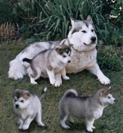 husky puppies for sale las vegas german shepherd husky mix puppies for sale adoption from las vegas breeds picture
