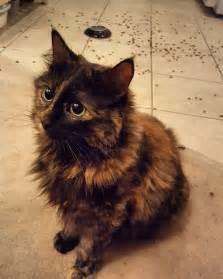 25 best ideas about tortoiseshell cat on pinterest
