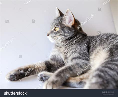 Window Sill Stock The Gray Cat Lies On A Window Sill Stock Photo 400971658