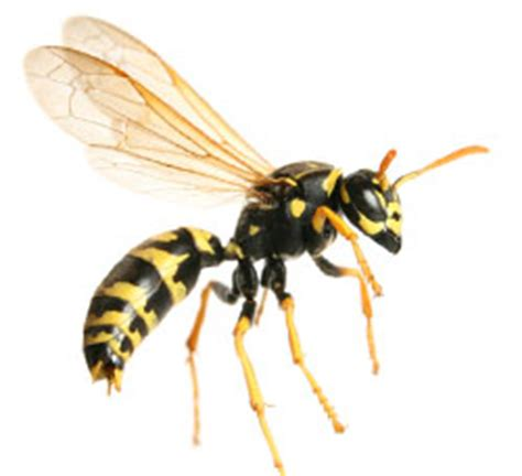 bees wasps and ants and other stinging insects classic reprint books flying stinging insects in poughkeepsie and millbrook