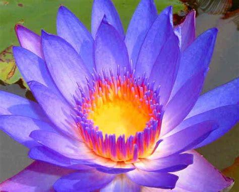 health benefits of lotus leaf lotus flower tea benefits buy lotus tea benefits how to