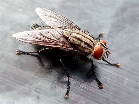 the flys the fly household pest or environmental hero 187 scienceline