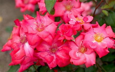 imagenes de rosas flores fondo de pantalla flores rosadas rosas hd