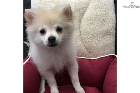 snowball pomeranian snowball pomeranian puppy for sale near new york city new york 80005096 0641