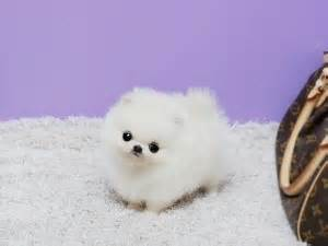 pocket pomeranian price 17 best images about pocket pet on mini pomeranian i want and teacup