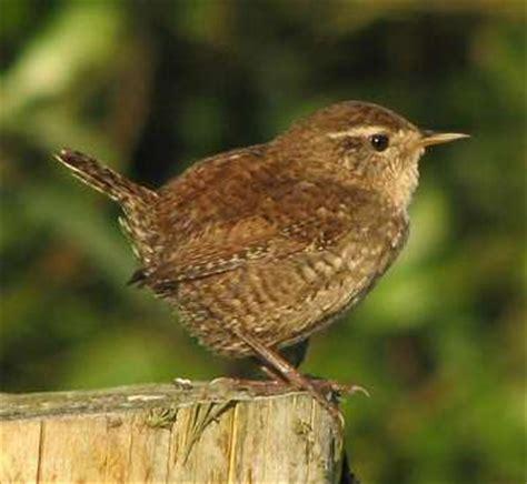 best 25 brown bird ideas on pinterest blue garden