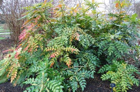potatura piante da giardino mahonia piante da giardino mahonia giardino