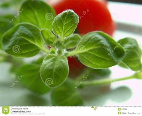 origan frais en cuisine origan frais photos libres de droits image 573628