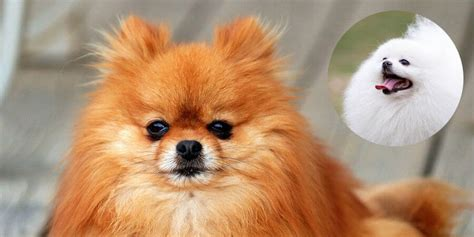 how to brush your pomeranian pomeranian characteristics appearance and pictures