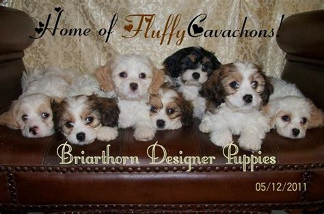 cavachon puppies ohio cavachon breeders contact us for beautiful cavachon puppies