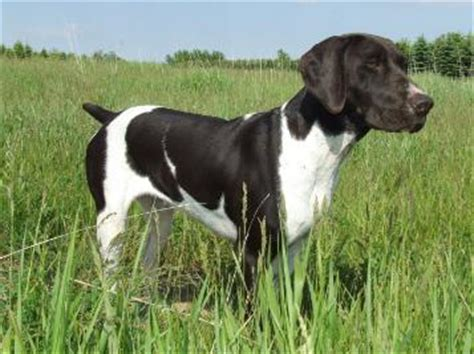 german shorthair puppies iowa started german shorthaired pointer for sale in iowa breeds picture