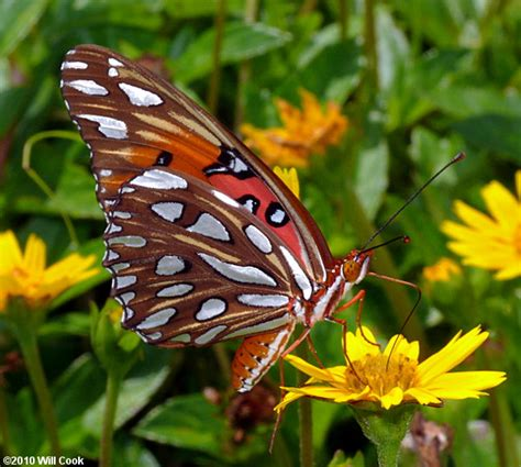 where to find caterpillars in your backyard raise live painted lady butterflies or monarch butterflies
