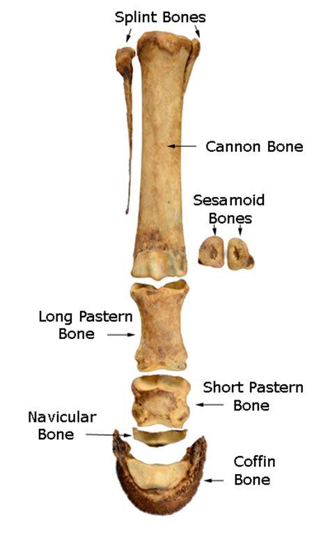Cannon Bone Horse Anatomy