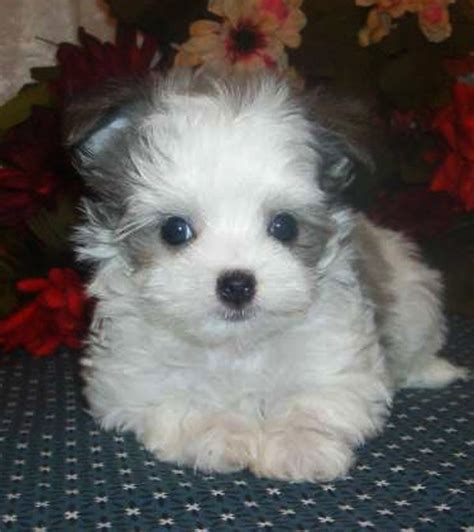 maltese chihuahua mix puppies chihuahua maltese mix puppies zoe fans baby animals
