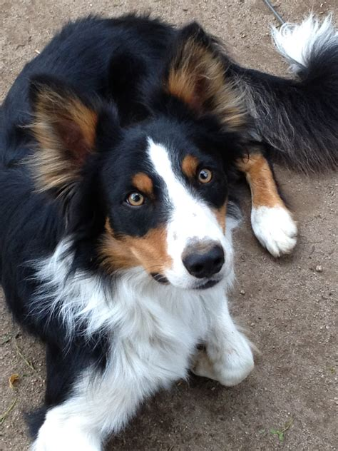 Border Collie Also Search For Rock N Roll Border Collies 187 Diesel