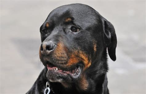 rottweiler bite top 12 dogs with the strongest bite pet comments