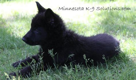 german shepherd puppies minnesota minnesota k 9 solutions minnesota canine solutions 952 942 5229german shepherd