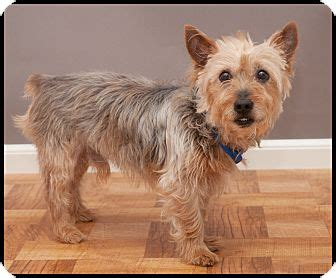 was toto a yorkie toto adopted westfield ny cairn terrier yorkie terrier mix