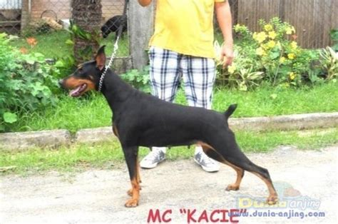Potong Ekor Anjing Dunia Anjing Jual Anjing Doberman Pinscher 4ekor
