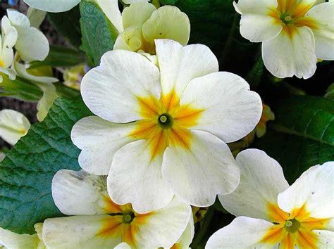 la primula fiori primula il fiore che fa primavera florablog