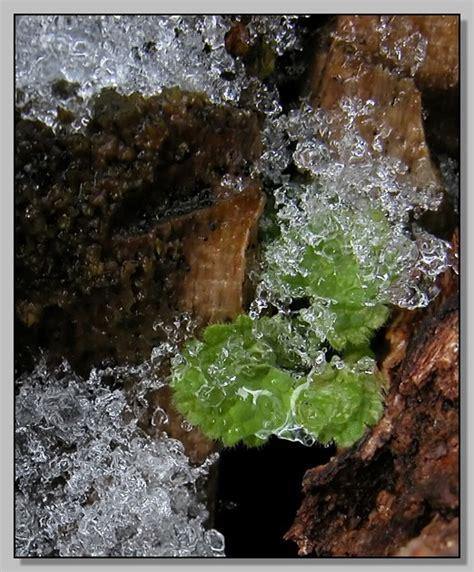 i fiori baudelaire trama fiori di ghiaccio forum natura mediterraneo forum
