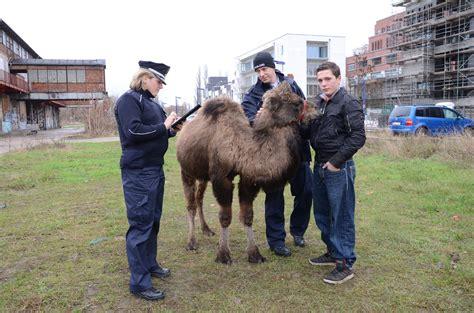 Salima Garutan zirkus kamel flieht beim zeltaufbau b z berlin