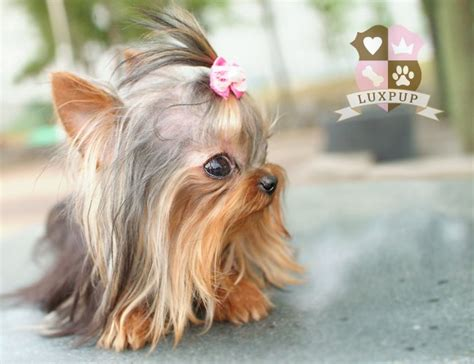 teacup yorkie haircuts puppy cut dog breeds picture