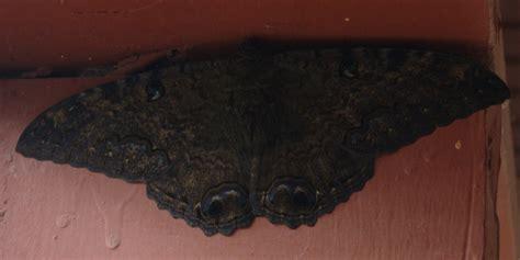 imagenes de mariposas negras grandes macabro ascalapha odorata la mariposa de la muerte