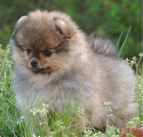 my pomeranian ate chocolate 17 best images about teacup pomeranian different colors on micro teacup