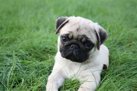 baby pug wallpaper pug wallpaper screensaver background pug puppy pet the o