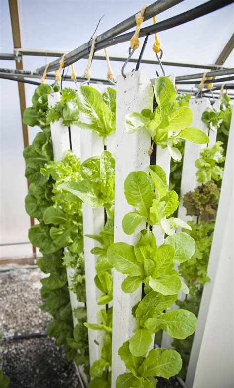 decorative lettuce plants free images green farming produce vegetable botany