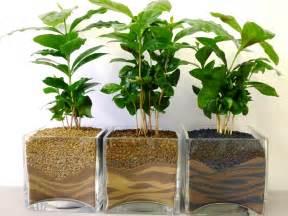 inner growth 187 coffee arabica houseplant