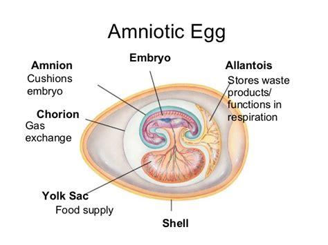 diagram of an amniotic egg reptiles birds mammals