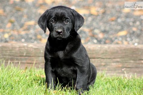 black labrador retriever puppies black lab puppy labrador retriever puppies litle pups