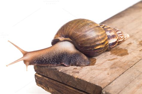 terrestrial snail pictures about animals land snails while hiding in shell animal photos on