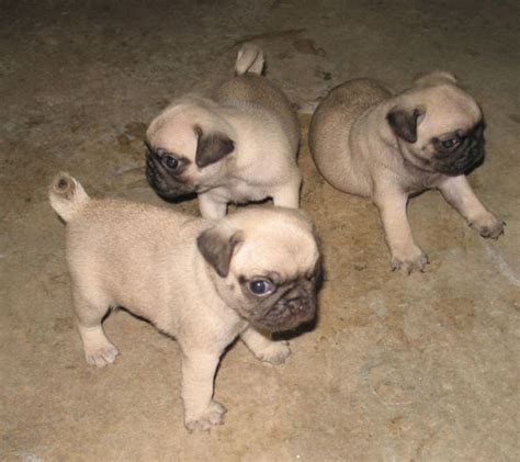 how much would a pug cost pugs three jpg 1 comment
