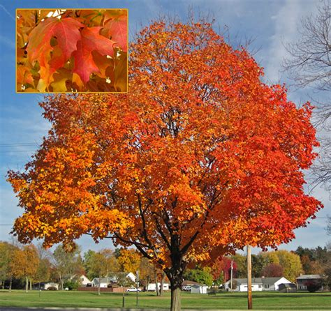 maple tree virginia three favorite northern virginia shade trees surrounds landscape architecture