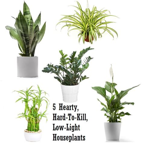 5 hardy hard to kill houseplants for apartments with low
