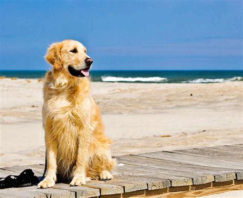 golden retriever length golden retriever breed information k9 research lab