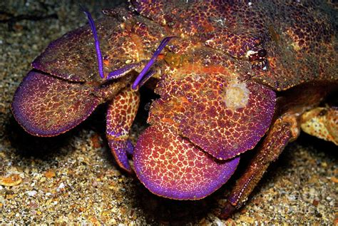 slipper lobster slipper lobster on seabed photograph by sami sarkis