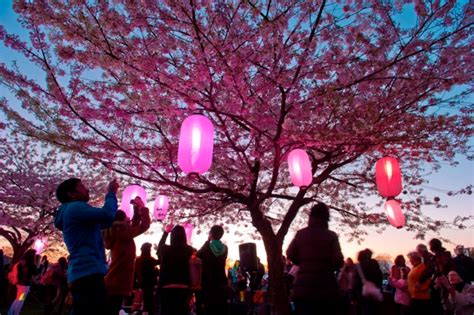 sakura illumination to light up queen elizabeth park 604 now