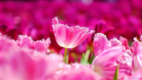 wallpaper bunga tulip pink cantik deloiz wallpaper