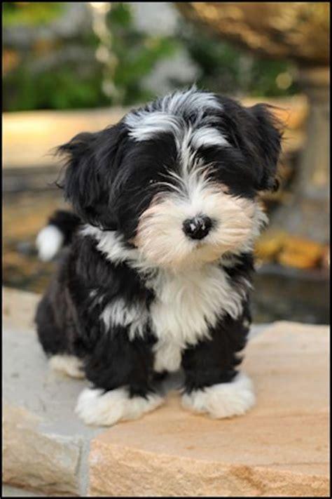baby havanese puppies havanese puppies critters