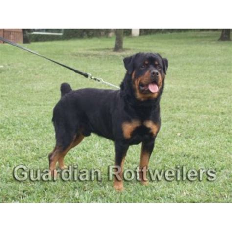 rottweiler breeders in mn rottweiler breeders in florida freedoglistings