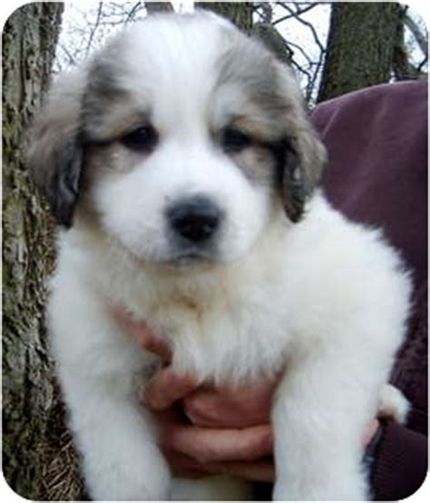 great pyrenees anatolian shepherd mix puppies for sale great pyrenees anatolian shepherd mix puppies breeds picture